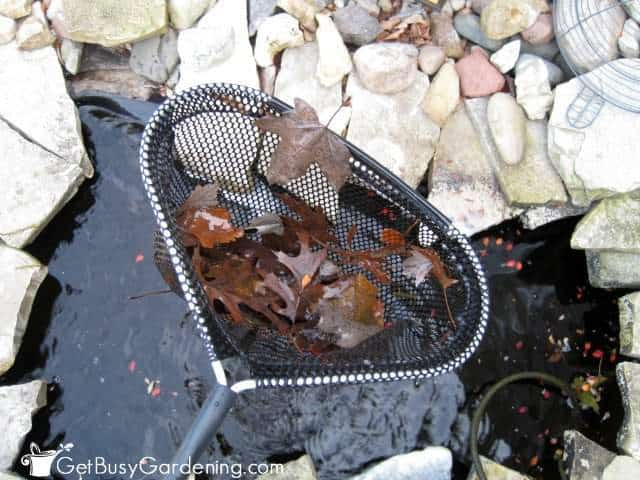 Removing leaves before winterizing fish pond